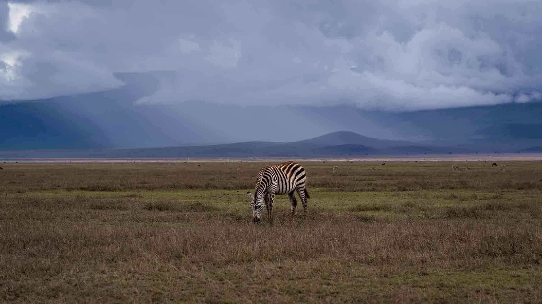 Arusha Trips about us zebra, ngorongoro, crater, tanzania